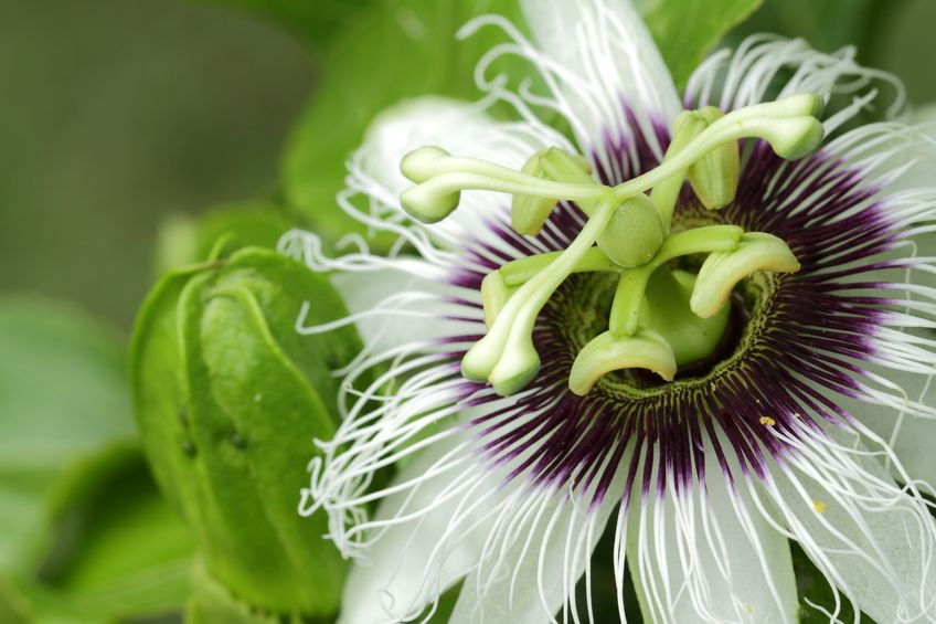 Passionflower and Anxiety