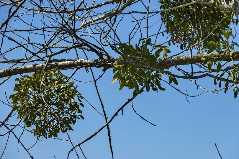 Colorectal Cancer And Mistletoe Npc