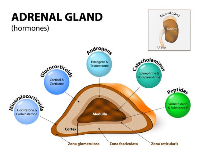 Adrenal Status - At the Root of PCOS